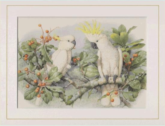 Sulphur Crested Cockatoo Mounted Print