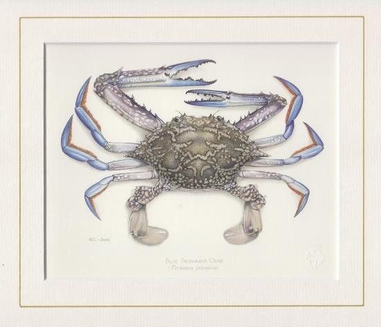 Blue Swimmer Crab Mounted Print