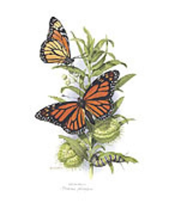 Monarch mounted print