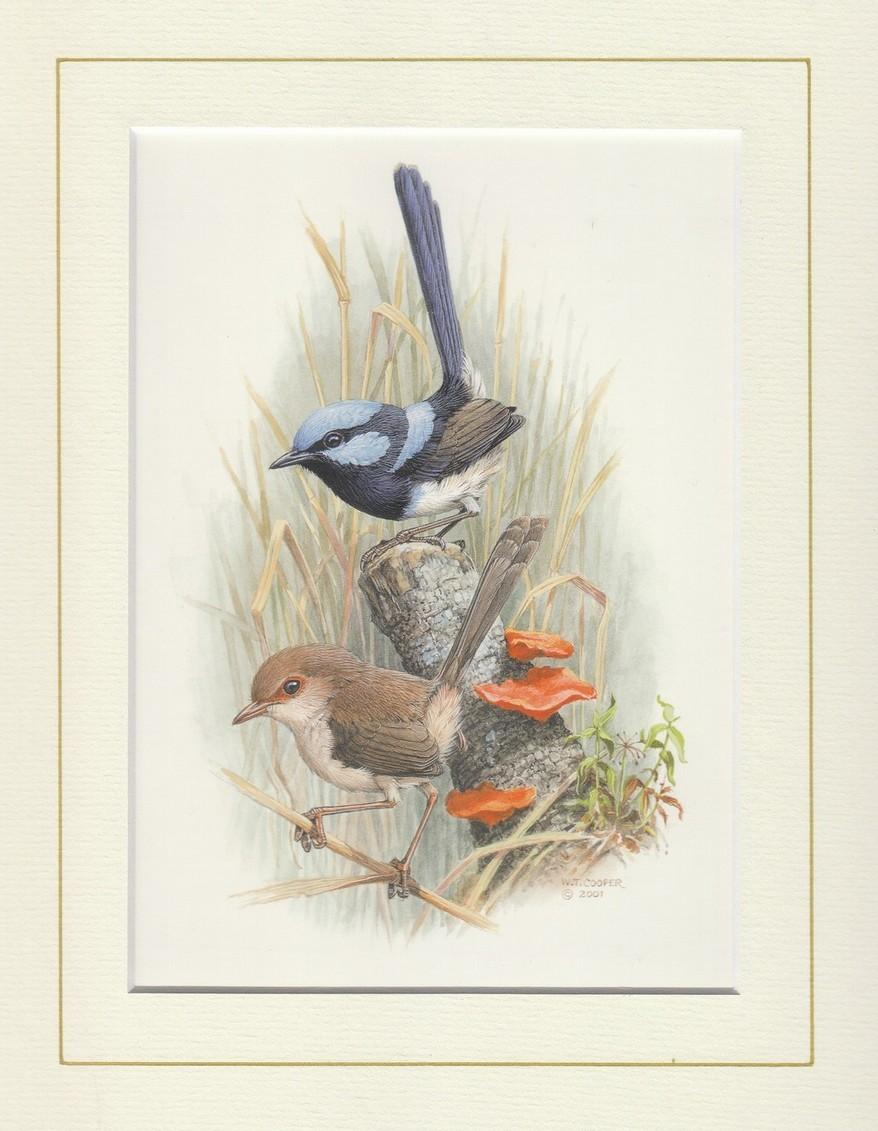 Superb Fairy Wren Mounted Print