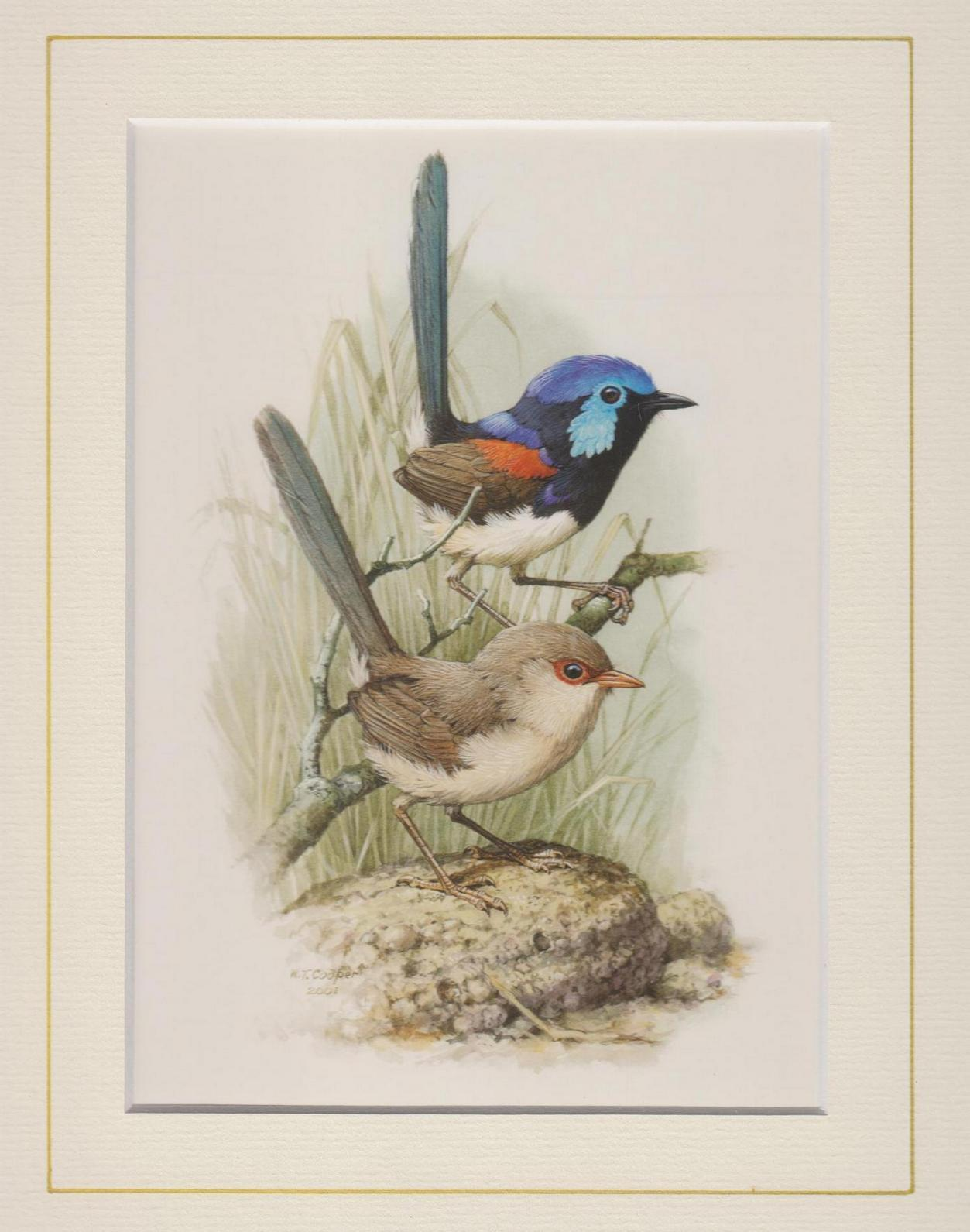Variegated Fairy Wren Mounted Print