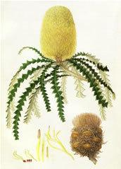 Showy banksia mounted print