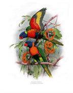 Rainbow Lorikeet Greeting Card - Nokomis