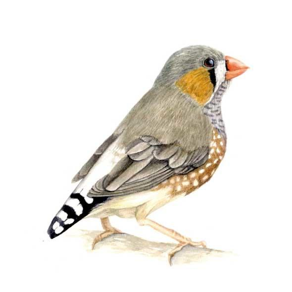Card - Zebra Finch