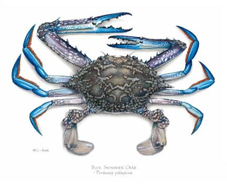 Print - Medium - Blue Swimmer Crab