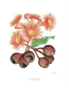 Print - Large - Red Flowering Gum