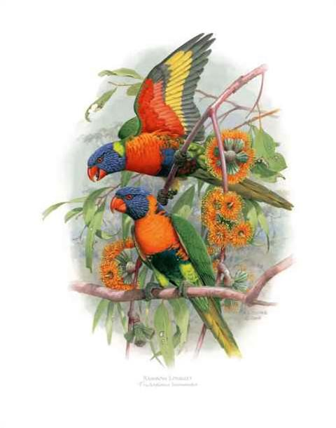 Print - Large - Rainbow Lorikeet