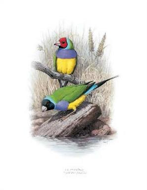 Print - Large - Gouldian Finch