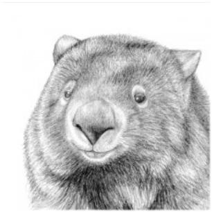 Card - Black and White Wombat