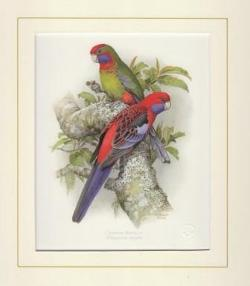 Crimson Rosella Mounted Print