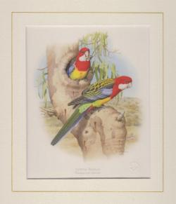 Eastern Rosella Mounted Print