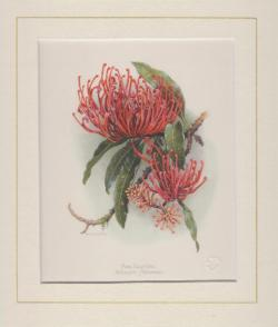 Pink Silky Oak Mounted Print