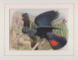 Red Tailed Black Cockatoo Mounted Print