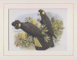 Yellow-tailed Black Cockatoo Mounted Print