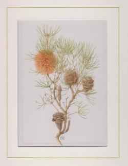 Banksia Grossa Mounted Print