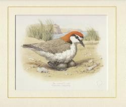 Red Capped Plover Mounted Print