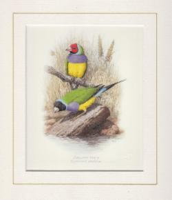 Gouldian Finch Mounted Print