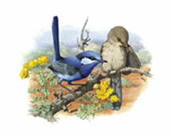 Splendid Fairy-wren mounted print