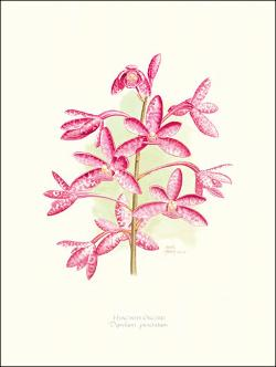 Hyacinth Orchid mounted print