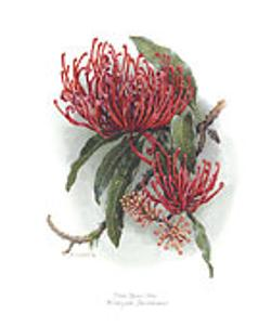 Card - Pink Silky Oak