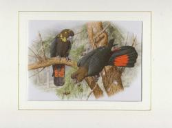 Glossy Black Cockatoo Mounted Print