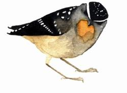 Card - Spotted Pardalote