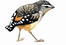 Card - Curious Pardalote