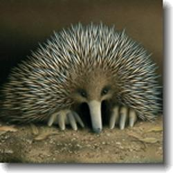 Small Card - Short-Nosed Echidna