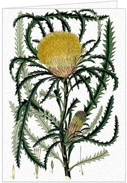 Dryandra Longifolia - Greeting Card