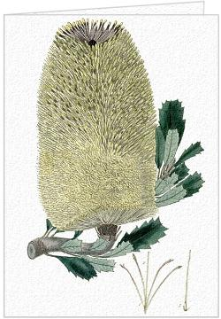Banksia Marcescens - Greeting Card