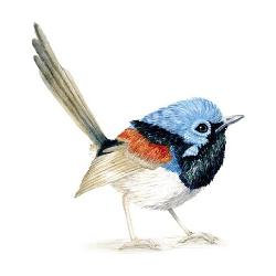 Card - Blue Fairy Wren