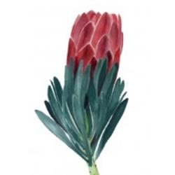 Card - Protea on White Background