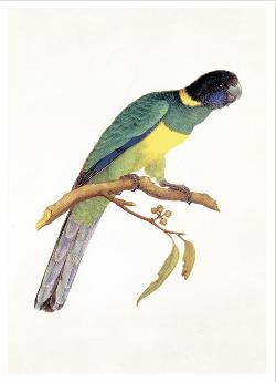 Card - Port Lincoln Parrot or Australian Ringneck