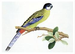 Card - Northern, or Brown's, Rosella